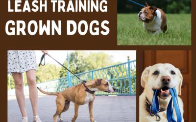 Leash Training – Grown Dogs